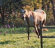 Appaloosa (retired cutting horse) 1972 - 2000